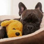 Französische Bulldogge die schläft